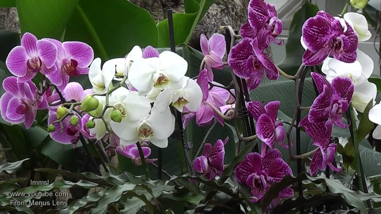 [VIDEO] ORCHID EXTRAVAGANZA AT KEW GARDENS
