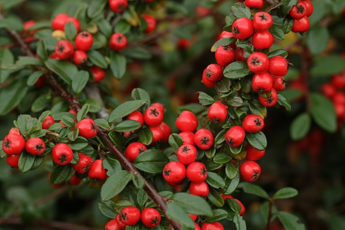 Top 10 Evergreen Shrubs For Year Round Interest