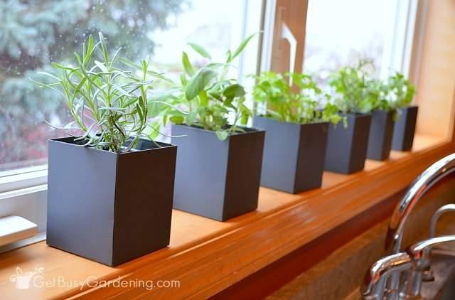 Growing A Windowsill Herb Garden