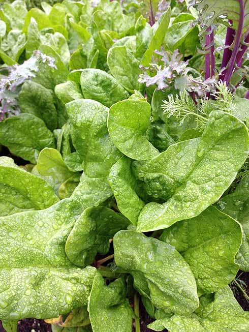 Smooth-leaf spinach