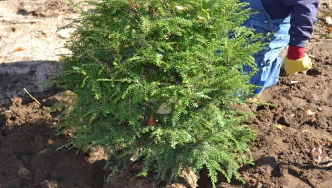 How to Replant a Christmas Tree After the Holiday