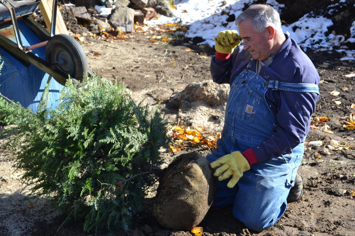 Planting a live Christmas tree.
