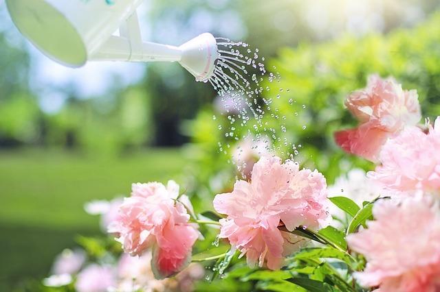 watering peonies